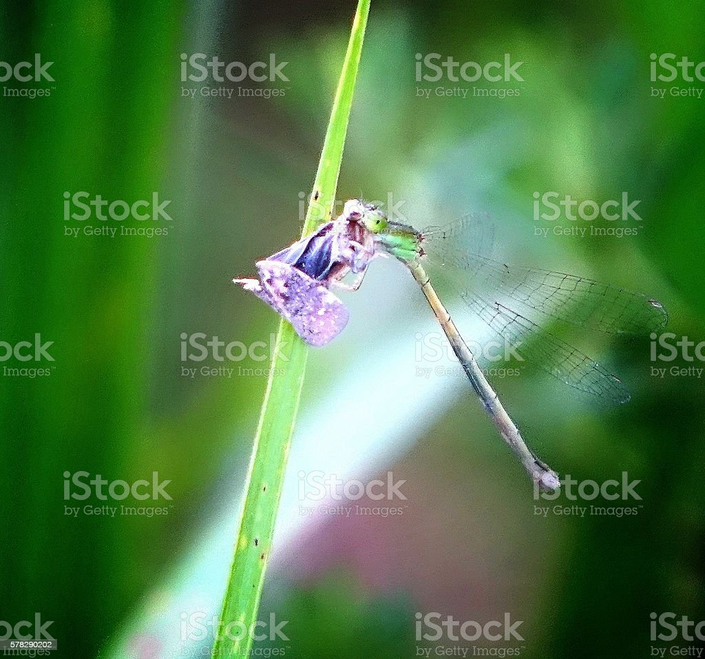 dragonfly catches insects and eats stock photo