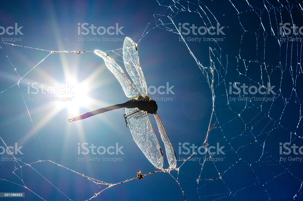 Dragonfly caught in spider's web. stock photo