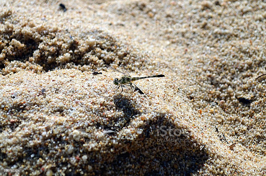 Dragonfly chilling in the sand of a beach in Thailand stock photo