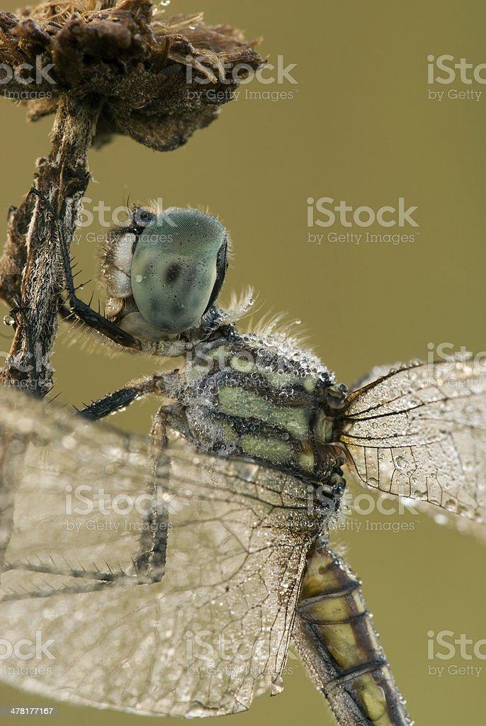 Dragonfly closeup royalty-free stock photo