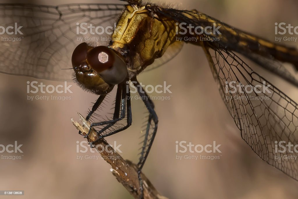 Dragonfly Close-up stock photo