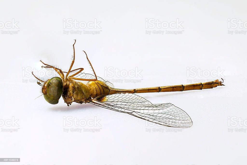 Dragonfly dead in garden stock photo