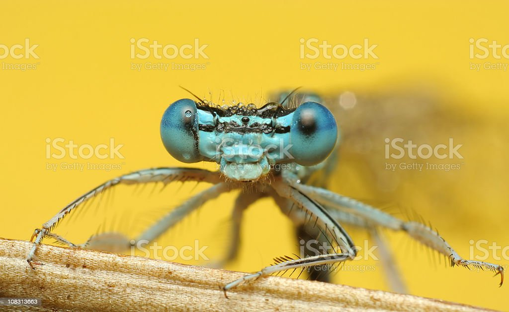 Dragonfly Eyes -  Close up royalty-free stock photo