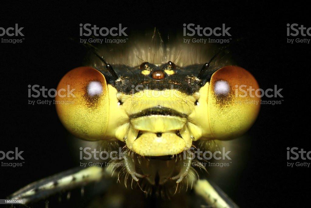Dragonfly Eyes royalty-free stock photo