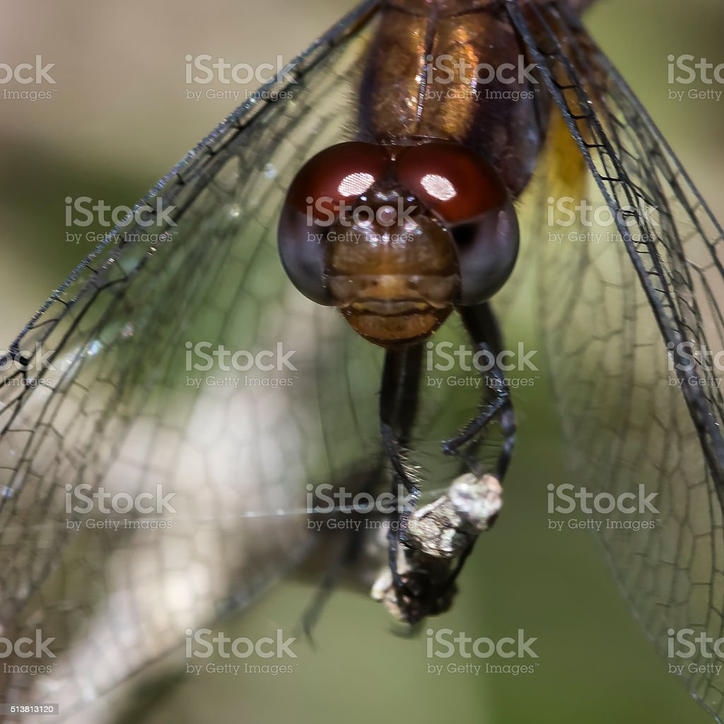 Dragonfly facing the camera stock photo