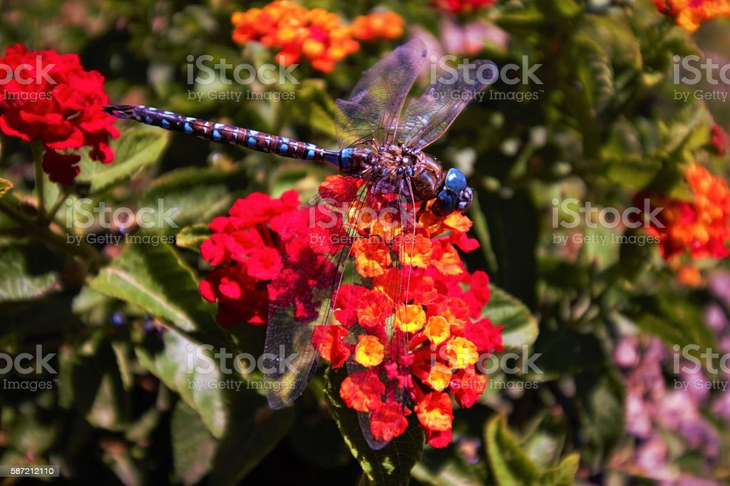 Dragonfly Flying Above Flowers stock photo