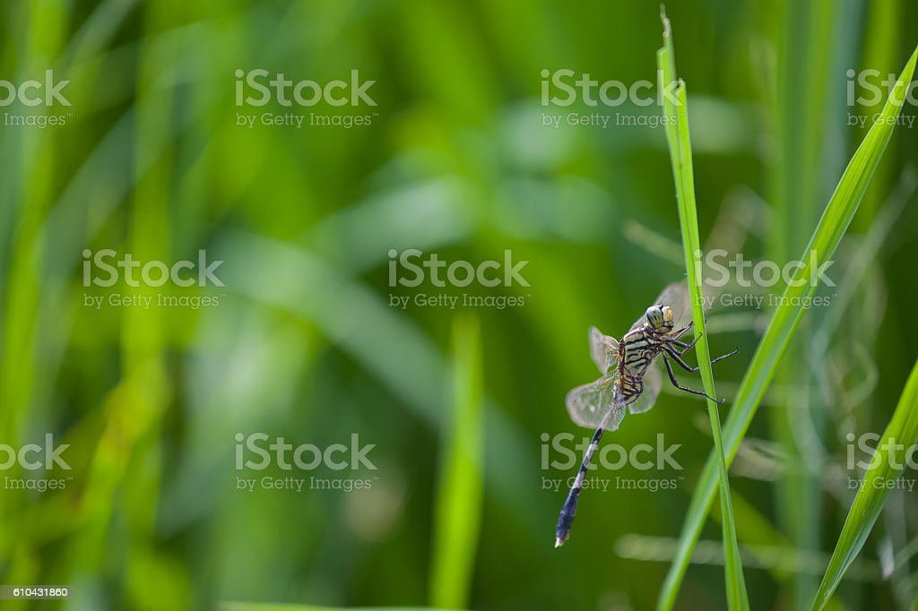 dragonfly green farm field in laos stock photo