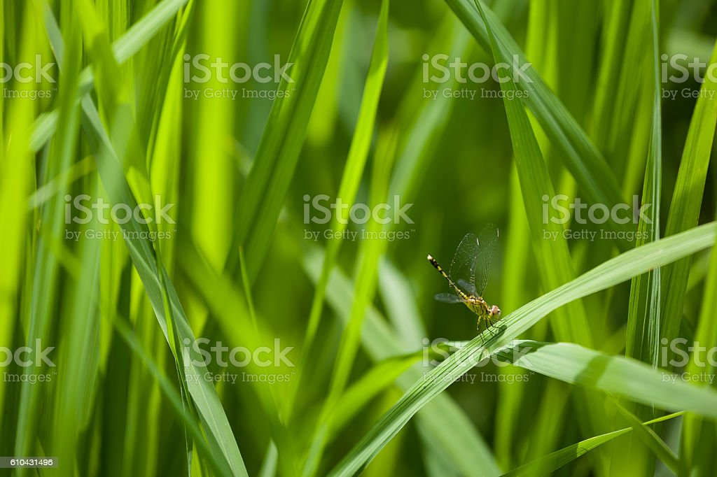 dragonfly green farm field sunny day in laos stock photo