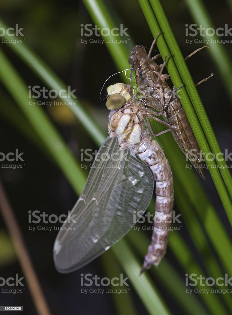 dragonfly hatch from larva stock photo