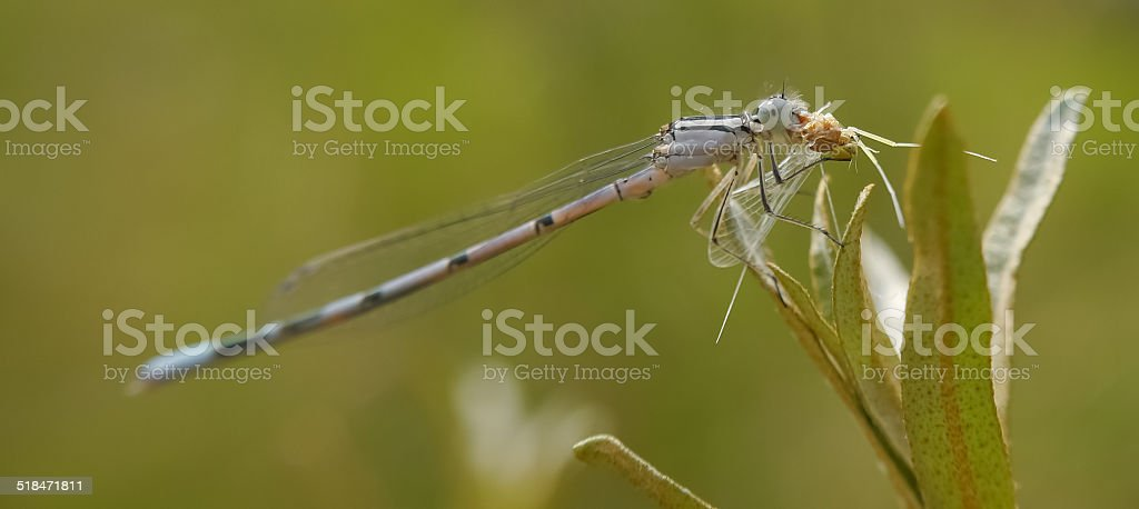 dragonfly having lunch royalty-free stock photo