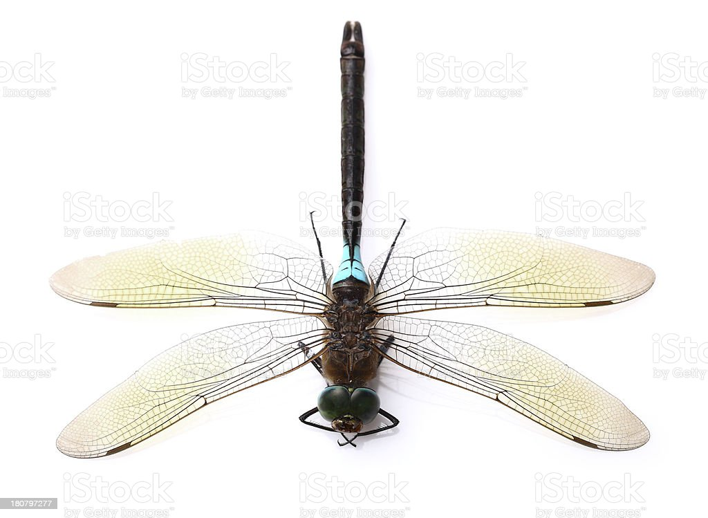 Dragonfly in closeup royalty-free stock photo