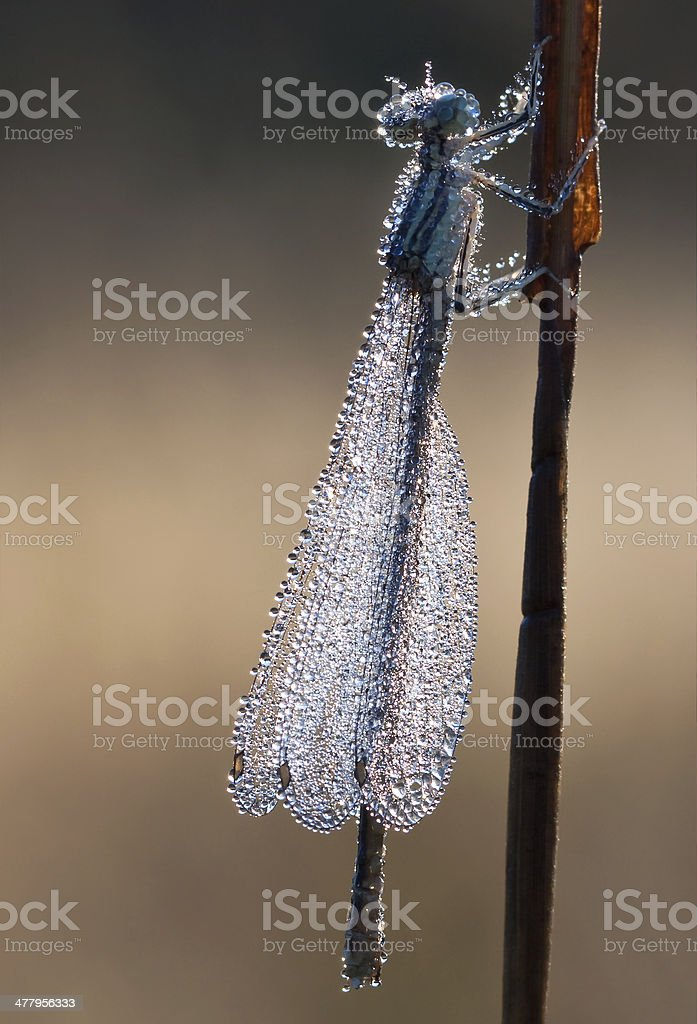 dragonfly in dew drops stock photo