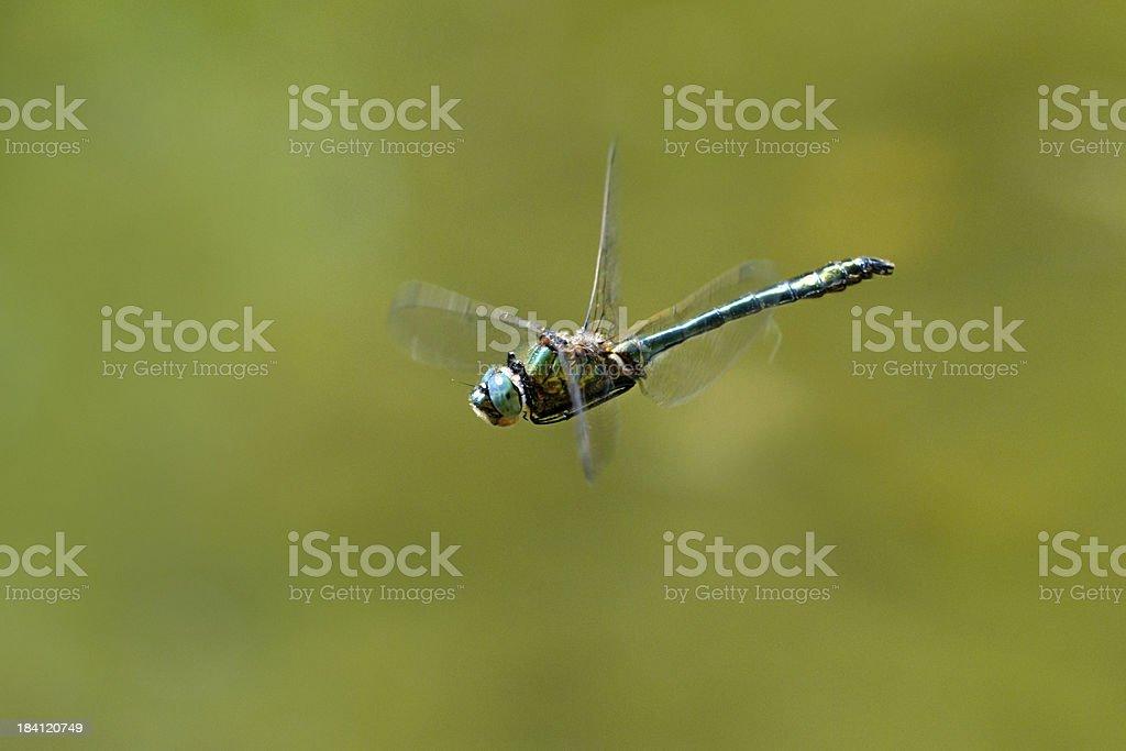 Dragonfly in flight, Macro stock photo