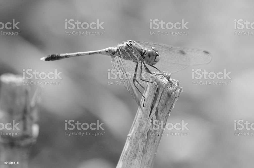 Dragonfly in monochrome stock photo