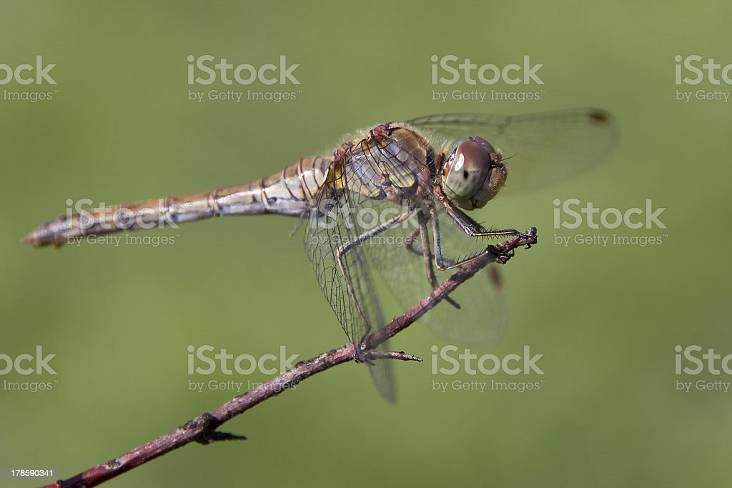 Dragonfly in nature royalty-free stock photo