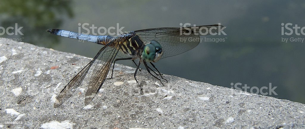 Dragonfly in Profile royalty-free stock photo