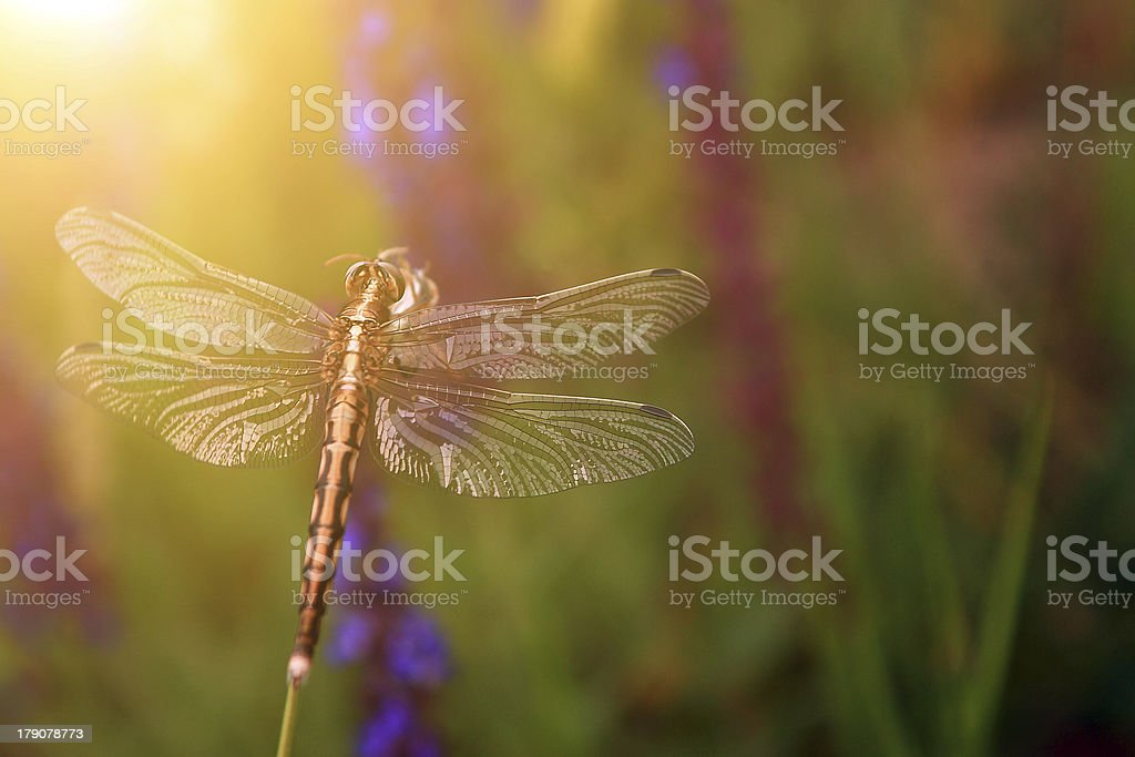 Dragonfly in sunset stock photo