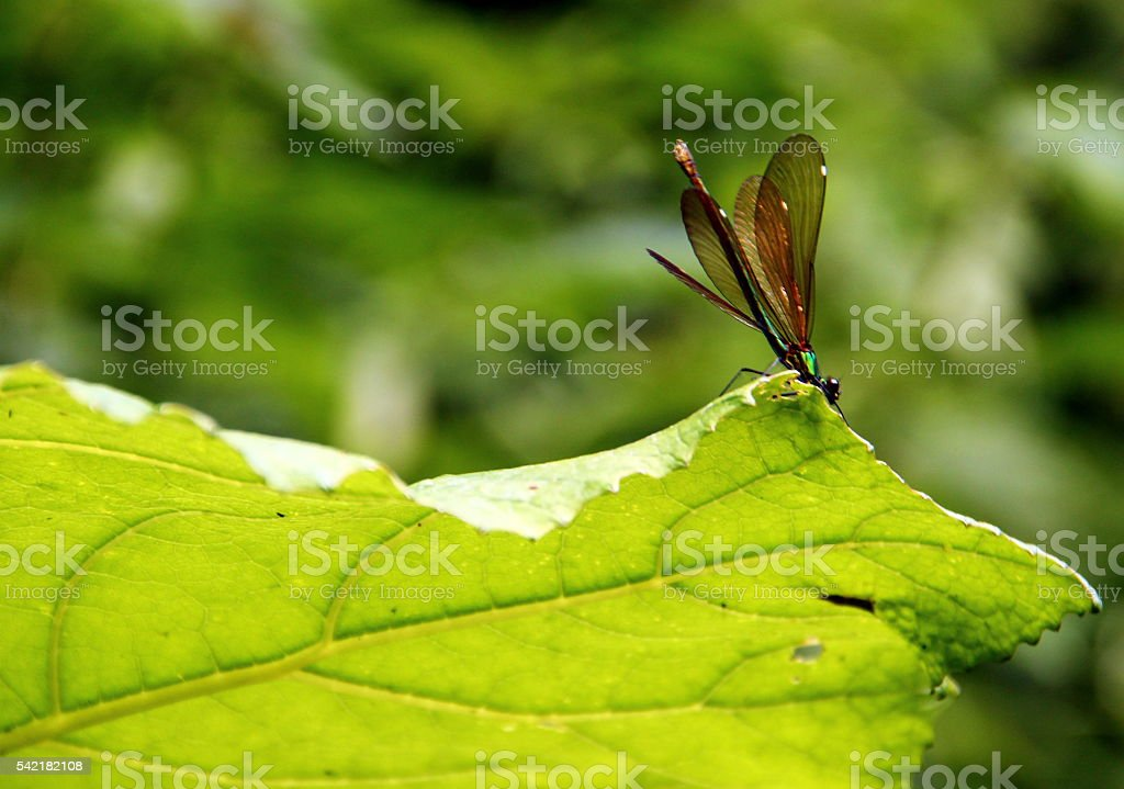 Dragonfly in the countryside near Blera, Italy stock photo