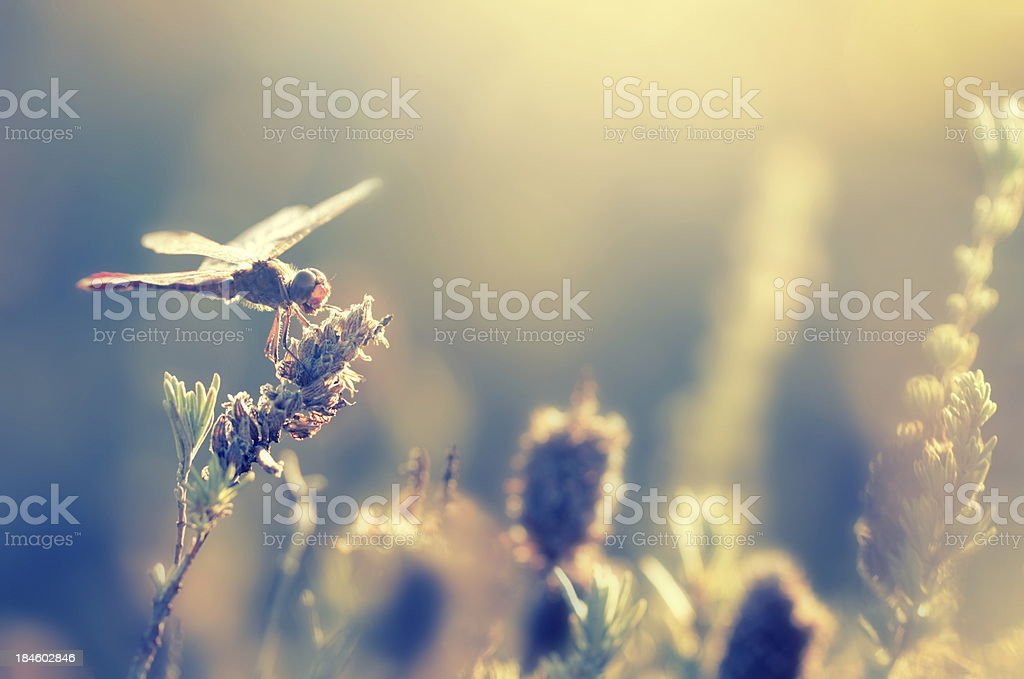 Dragonfly in the evening light stock photo