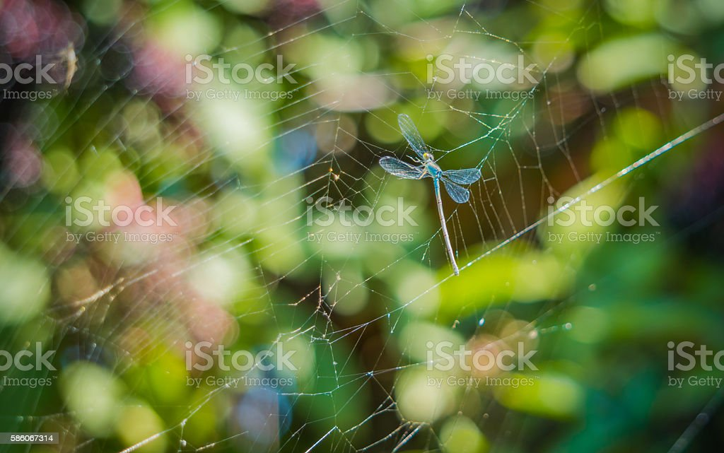 Dragonfly in the nets of a spider stock photo