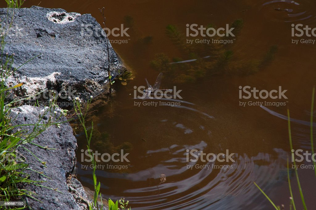 Dragonfly in the Pond stock photo