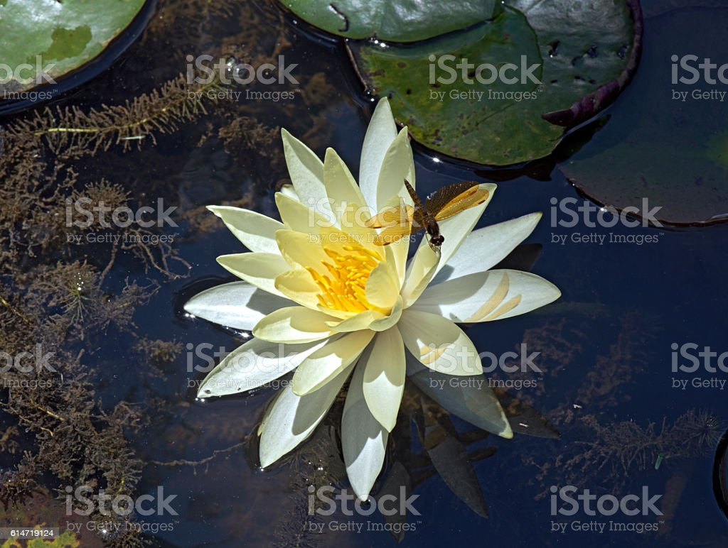 Dragonfly in yellow water lily stock photo