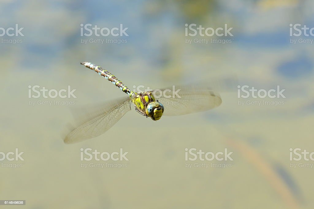 dragonfly insect flight water macro stock photo