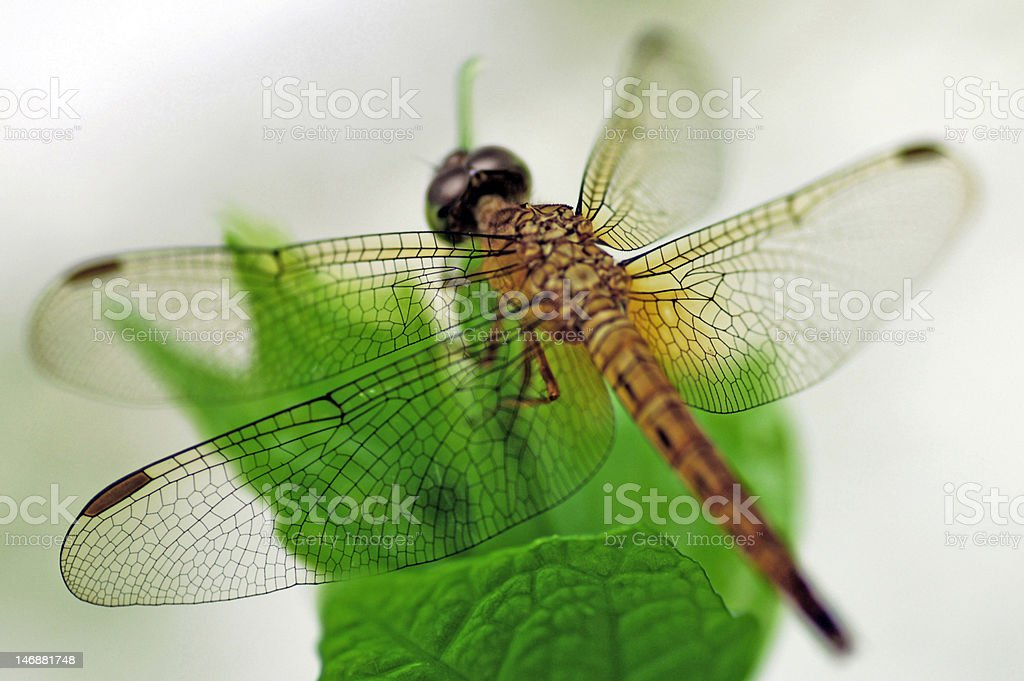 Dragonfly insect royalty-free stock photo
