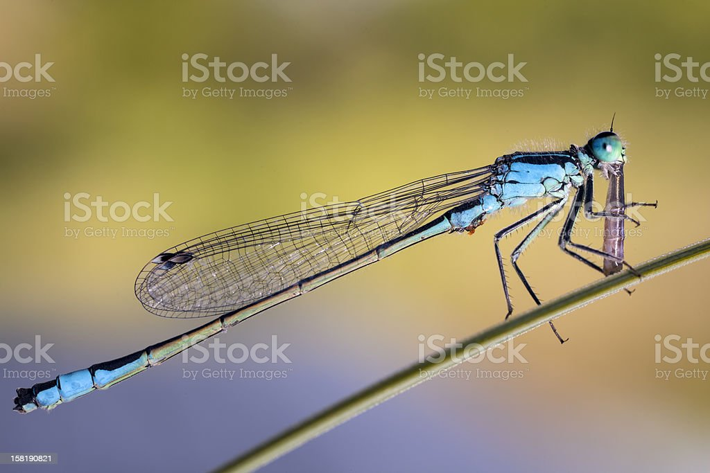 Dragonfly is eating another one stock photo