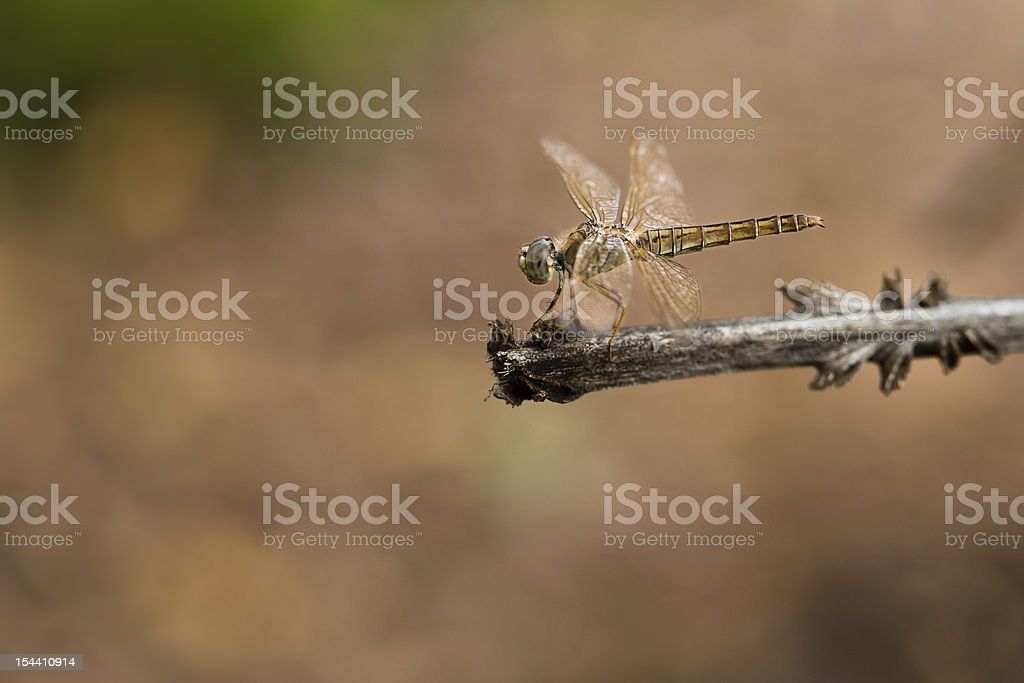 Dragonfly isolated on a Stick stock photo