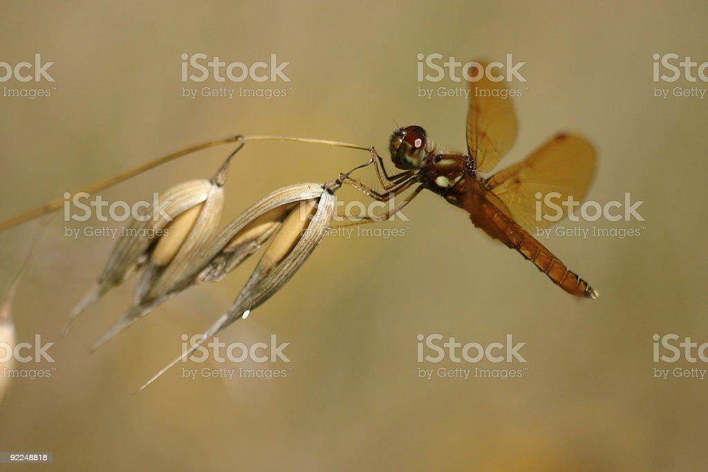 Dragonfly, Macro, Amberwing, Dragon fly stock photo
