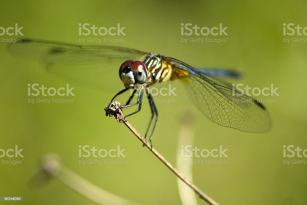 Dragonfly, Macro, Blue Dasher, Darter, Dragon fly stock photo