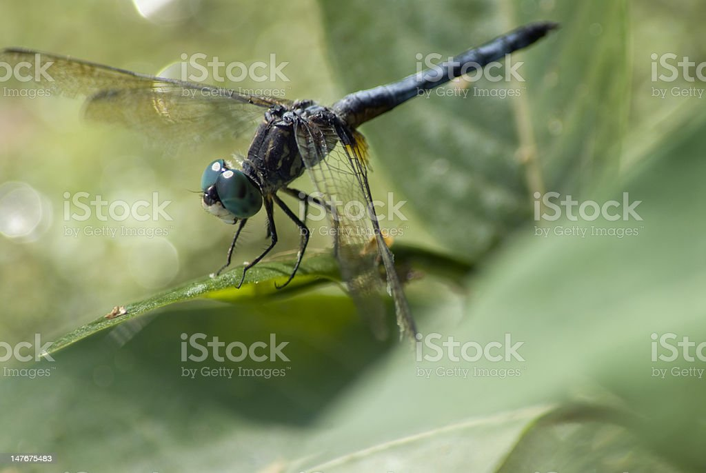 Dragonfly Macro royalty-free stock photo