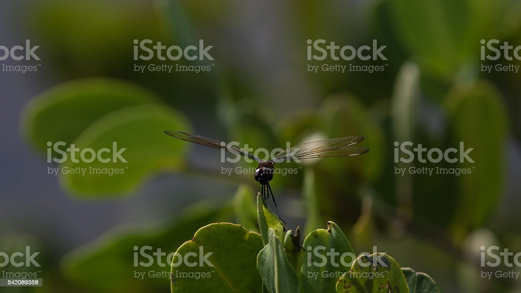Dragonfly, Merritt Island National Wildlife Refuge, Florida stock photo