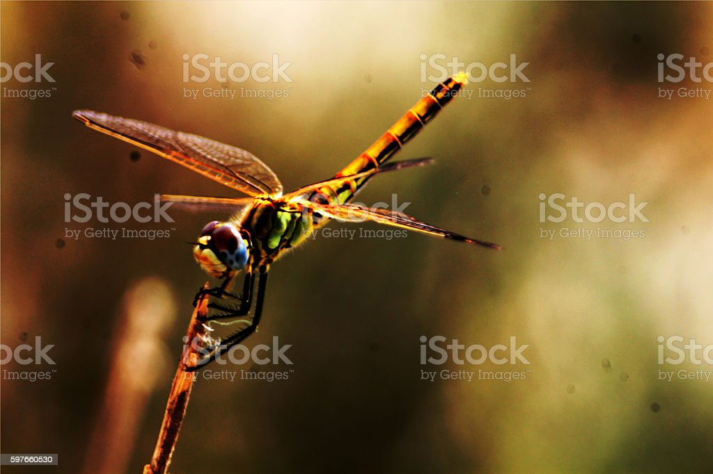Dragonfly Odonata Anizoptera stock photo