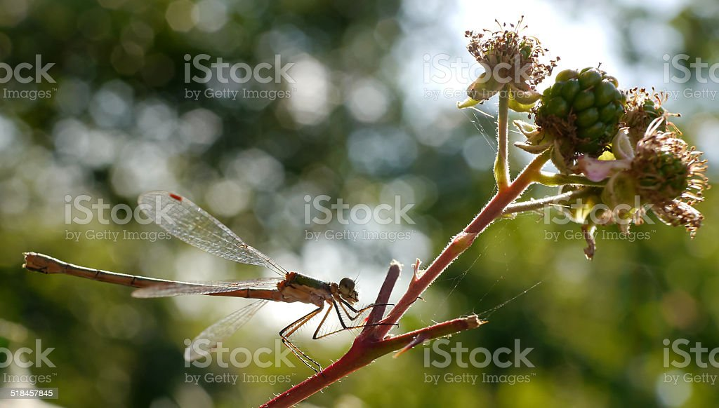 dragonfly on a blackberrie bush royalty-free stock photo