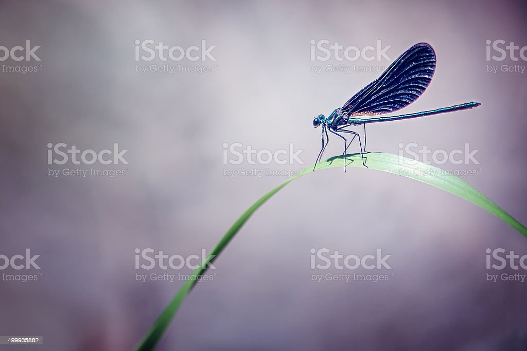 Dragonfly on a Blade of Grass stock photo
