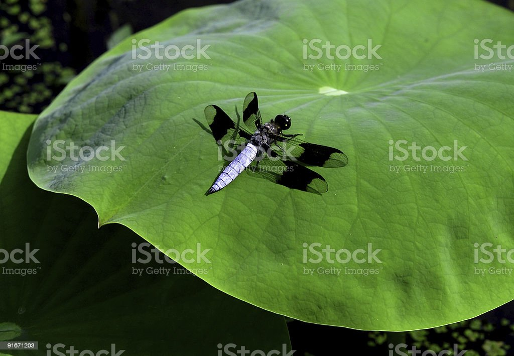 dragonfly on a green lilypad royalty-free stock photo