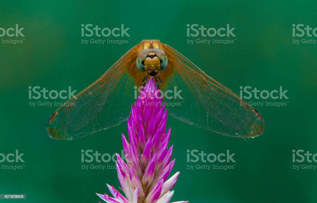 Dragonfly on a pink flower stock photo