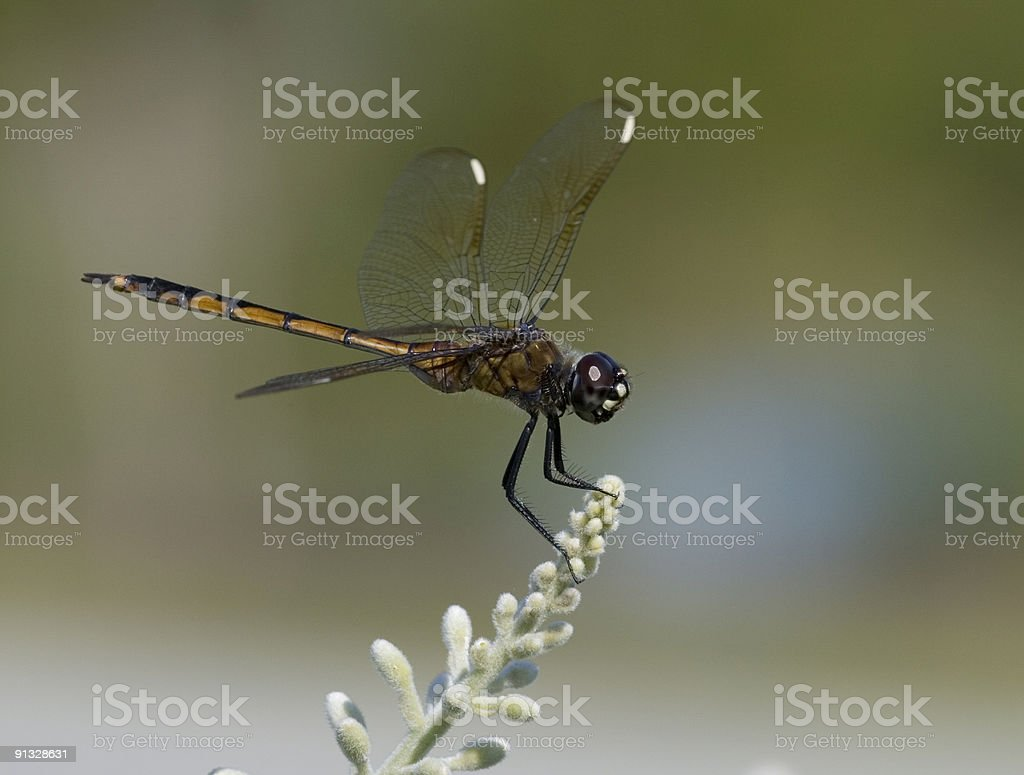 Dragonfly on a plant. royalty-free stock photo
