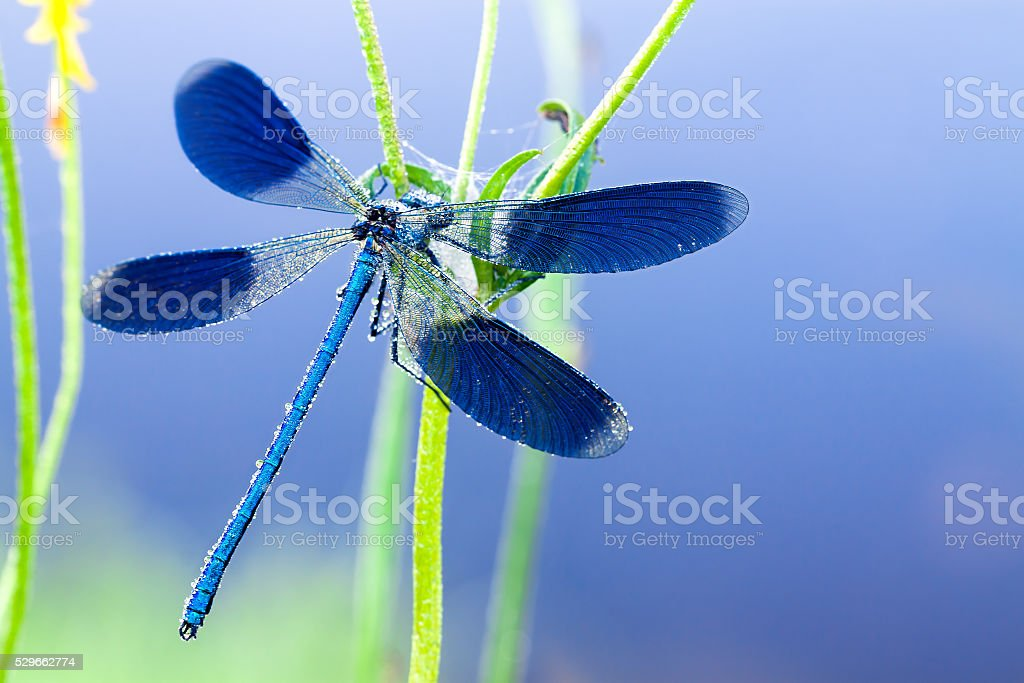 dragonfly  on a spring meadow stock photo