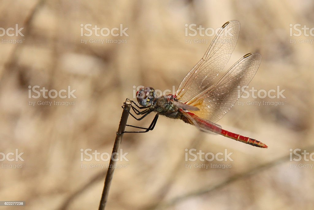 Dragonfly on a stalk stock photo