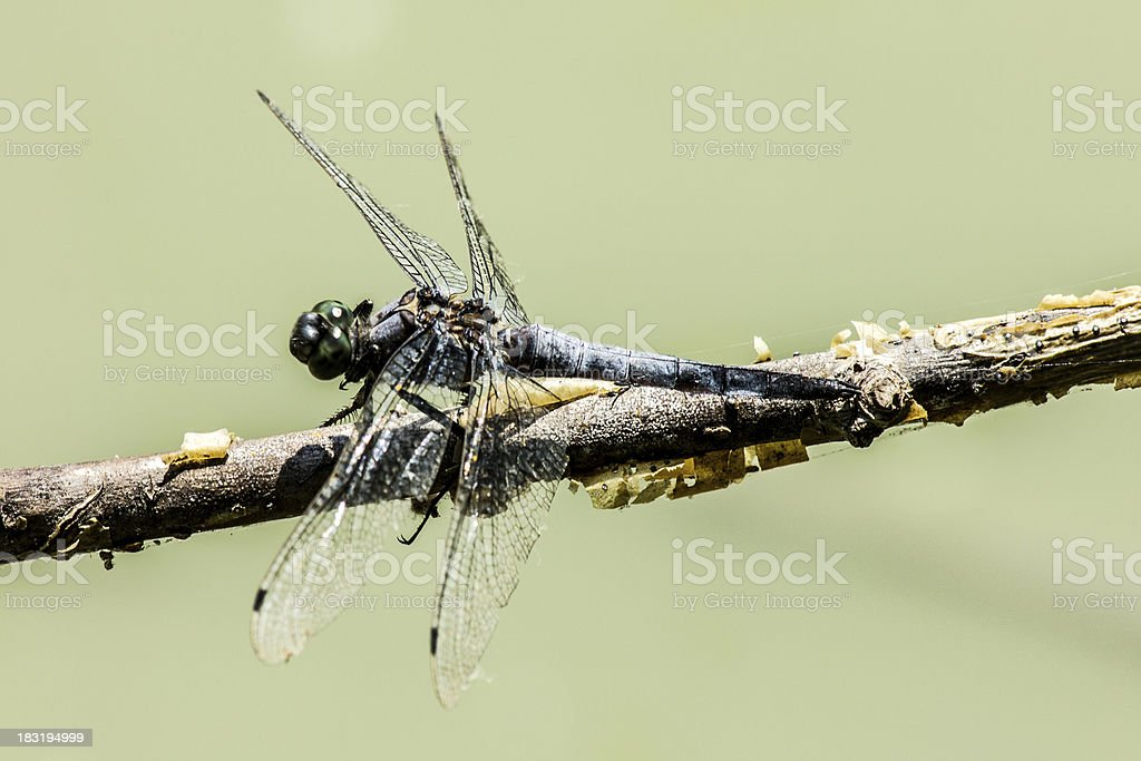 Dragonfly on a stick royalty-free stock photo