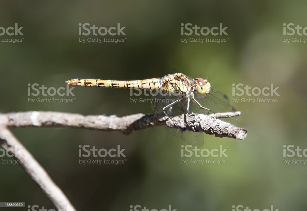 Dragonfly on a stick stock photo