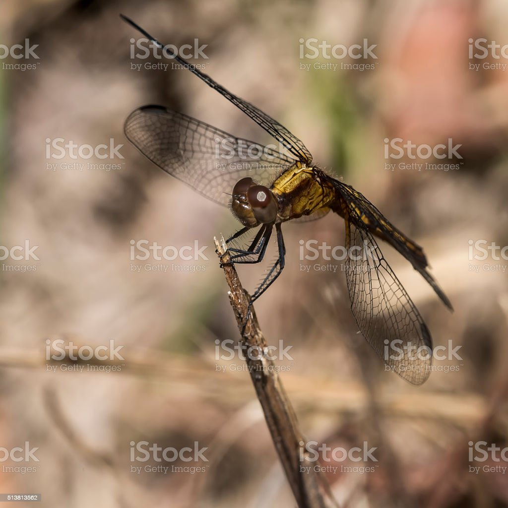 Dragonfly on a twig stock photo