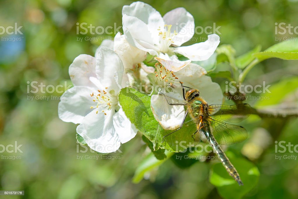 Dragonfly on an apple tree blossom stock photo