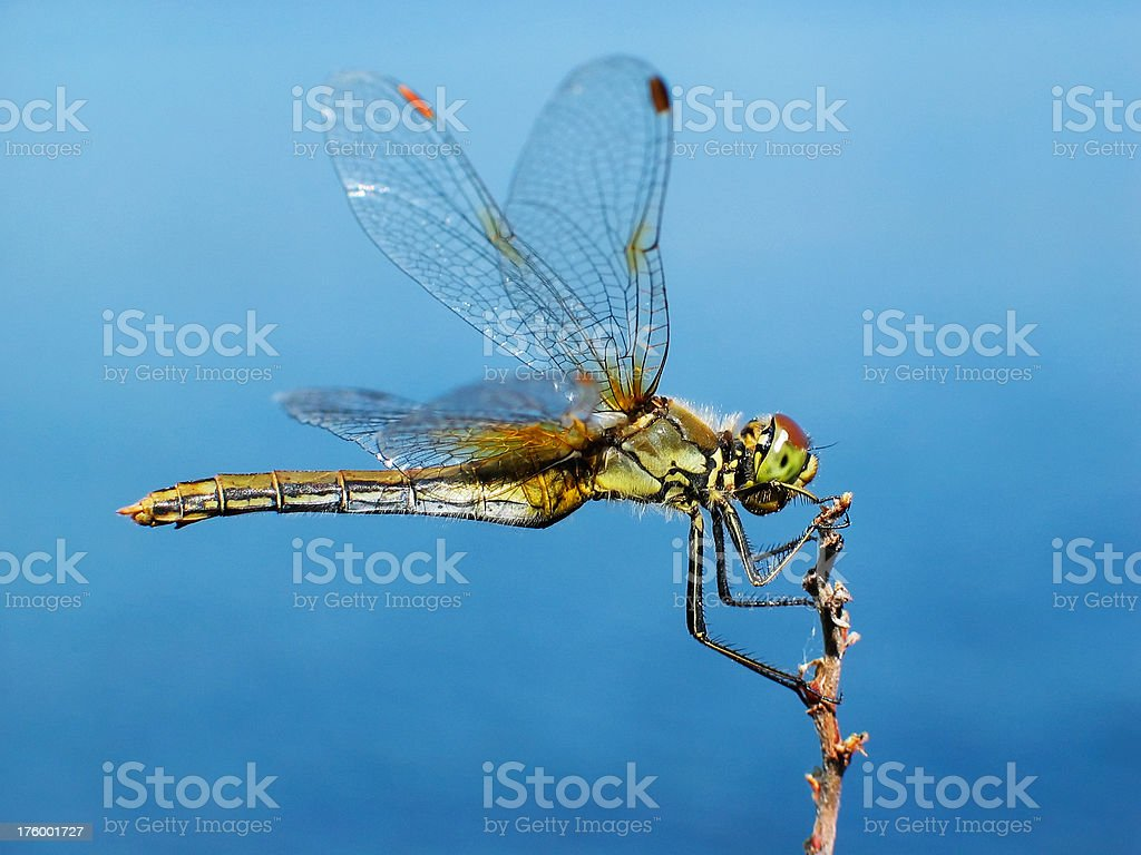 Dragonfly on blue royalty-free stock photo