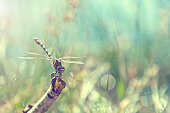 dragonfly on branch - cross processed