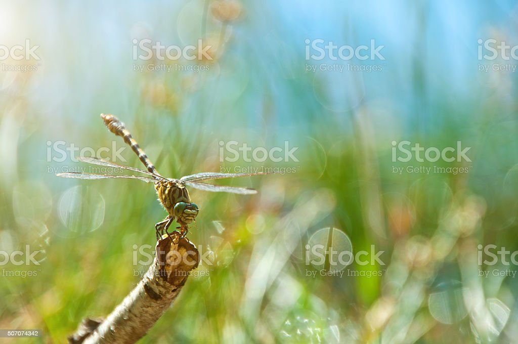 dragonfly on branch in sunlight stock photo