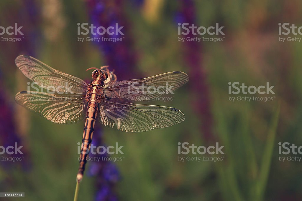 Dragonfly on flower royalty-free stock photo
